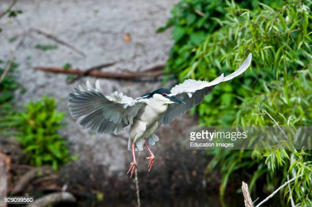 North America USA Florida Venice Audubon Rookery Blackcrowned Night Heron Flying