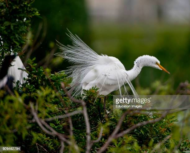 North America USA Florida Venice Audubon Rookery Great Egret