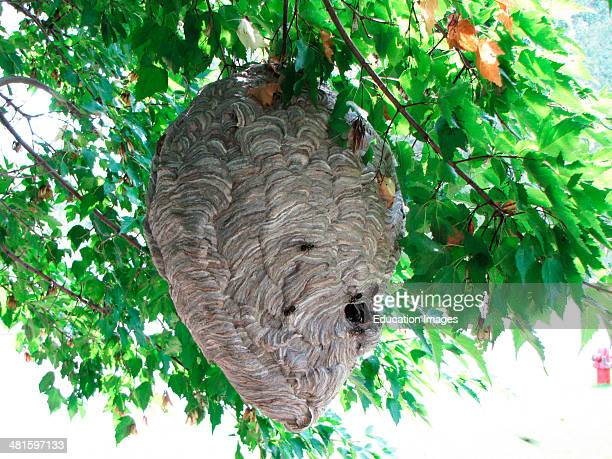 North America, USA, Minnesota, Mendota Heights, Paper Wasp Nest with Wasps.