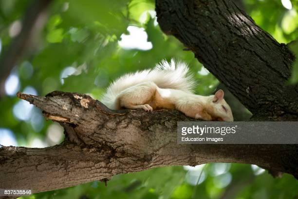 North America USA Minnesota Saint Paul Cherokee Avenue Albino Gray Squirrel Sleeping