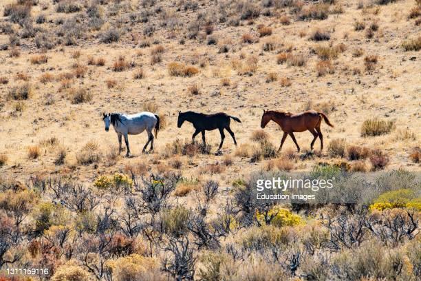 North America, USA, Nevada, Black Rock Desert, Wild Horses.