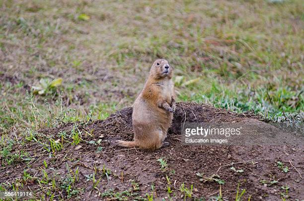 North America USA South Dakota Custer State Park Prairie Dog Town with Prairie dog at burrow