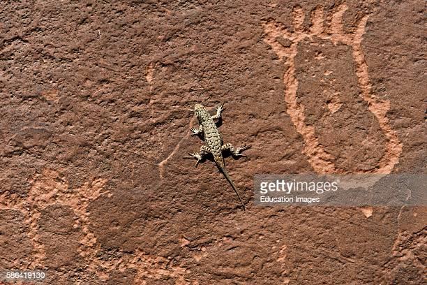 North America USA Utah Bluff Sand Island Petroglyphs and Sagebrush Lizard
