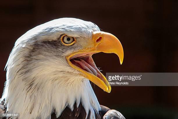 north american bald eagle - snavel stockfoto's en -beelden
