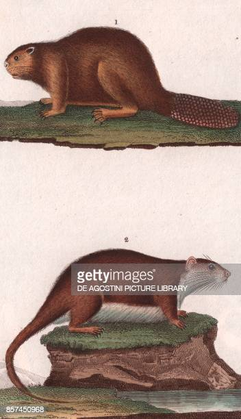 1 North American beaver 2 Whitebellied mosaictailed rat colour copper engraving retouched in watercolour 9x15 cm from Dizionario delle scienze...