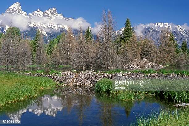 North American beaver beaver dam and lodge in the Grand Teton National Park Wyoming USA