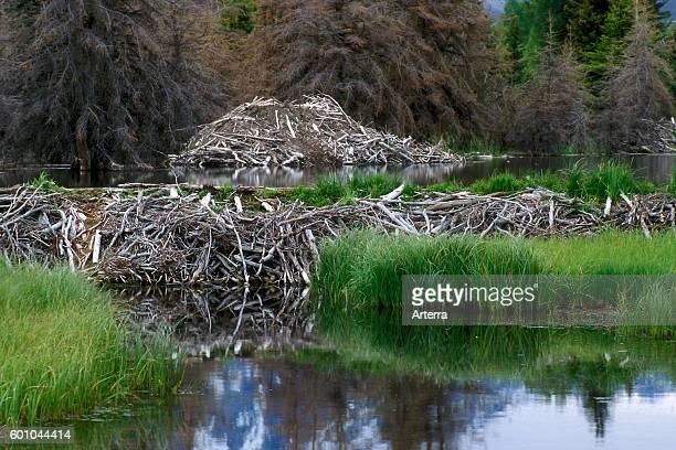 North American beaver beaver dam and lodge