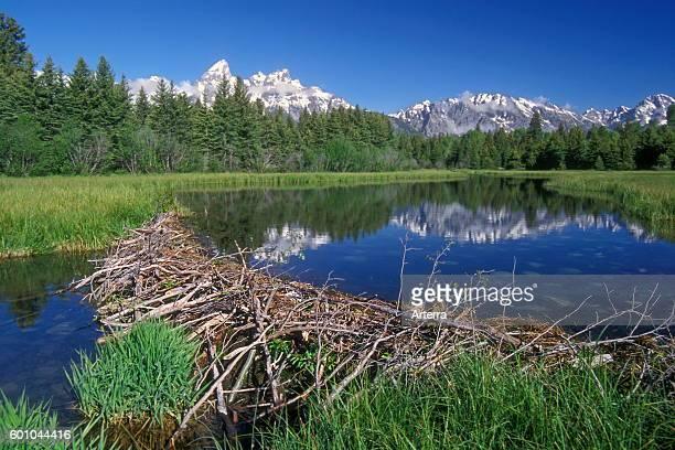 North American beaver beaver dam in the Grand Teton National Park Wyoming USA