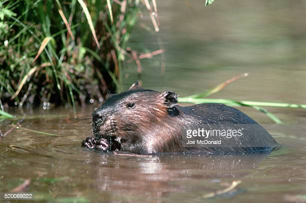 North American Beaver Eating