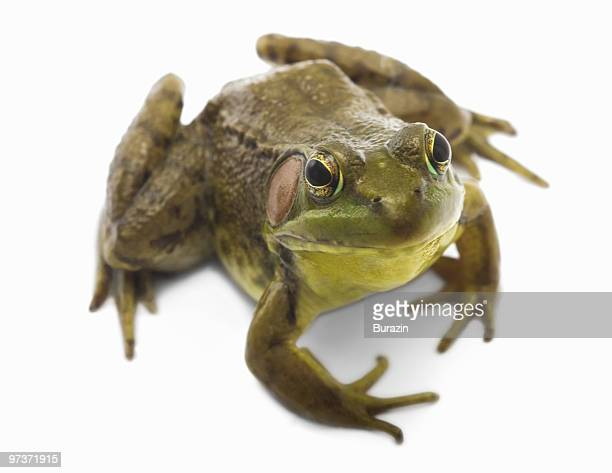 north american bull frog - frog stock pictures, royalty-free photos & images