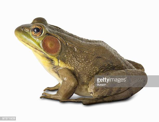north american bull frog - bullfrog stock pictures, royalty-free photos & images
