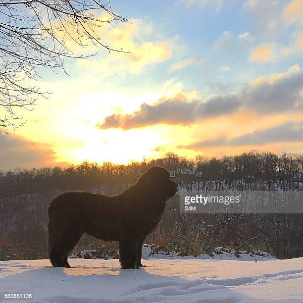 north american cold snap - newfoundland dog stock photos and pictures