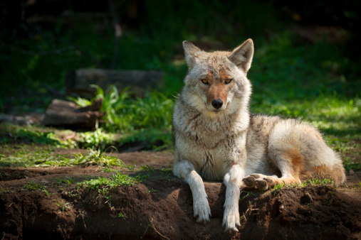 North American Coyote (Canis latrans) 178731641