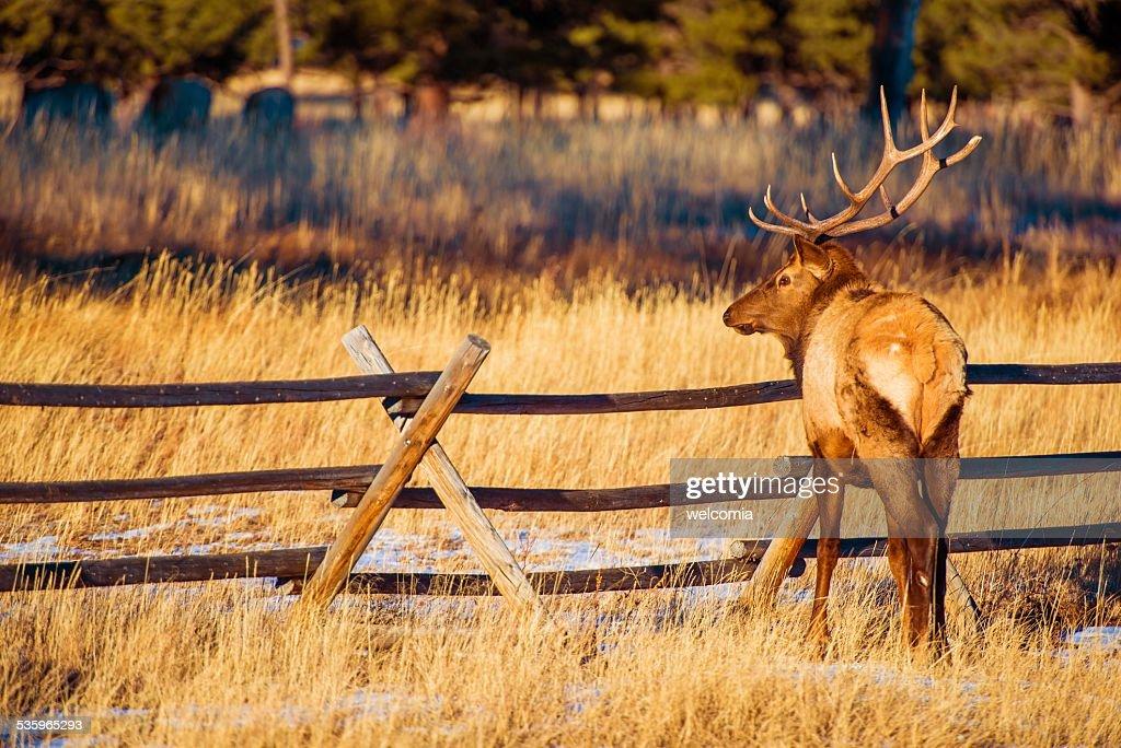 North American Elk : Stock Photo