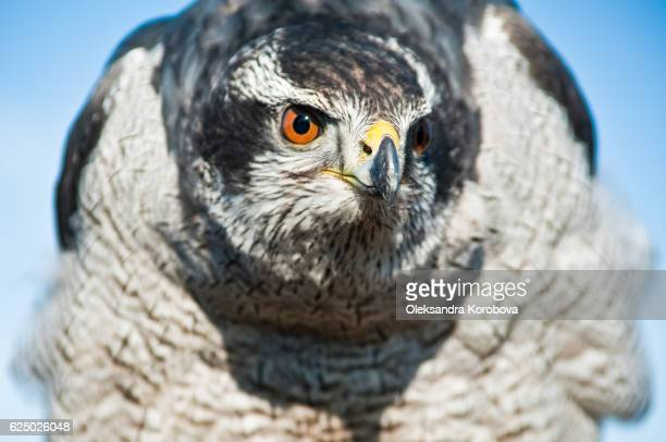 north american goshawk before the hunt. - birds_of_prey stock pictures, royalty-free photos & images