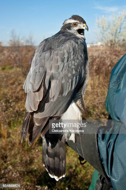 north american goshawk before the hunt. - goshawk stock photos and pictures