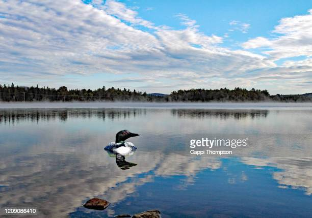 north american loon floating in water along androscoggin river in dummer, new hampshire usa - common loon stock pictures, royalty-free photos & images