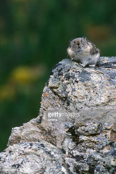 North American pika on the lookout on rock in mountain slope Denali National Park Alaska US
