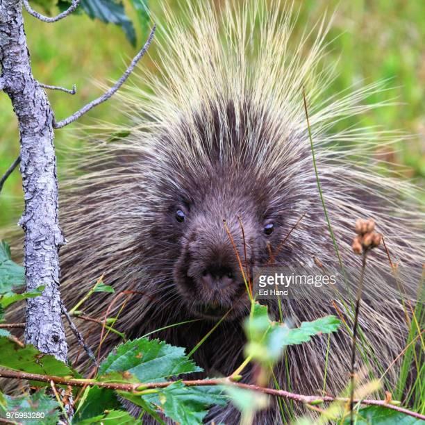 north american porcupine (erethizon dorsatum), alaska, usa - istrice foto e immagini stock