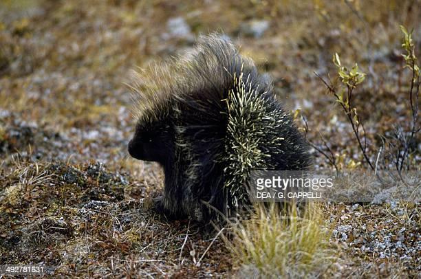 North American porcupine Canadian porcupine Erethizontidae Yukon Canada