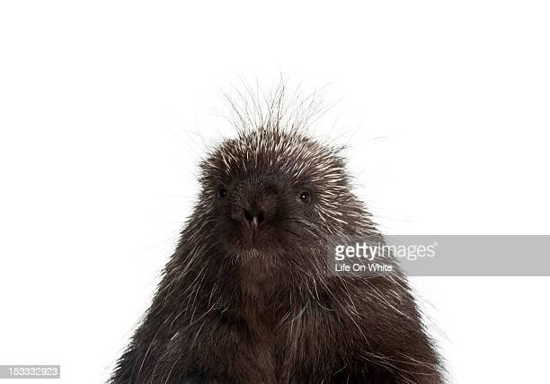 north american porcupine - erethizon dorsatum - istrice foto e immagini stock
