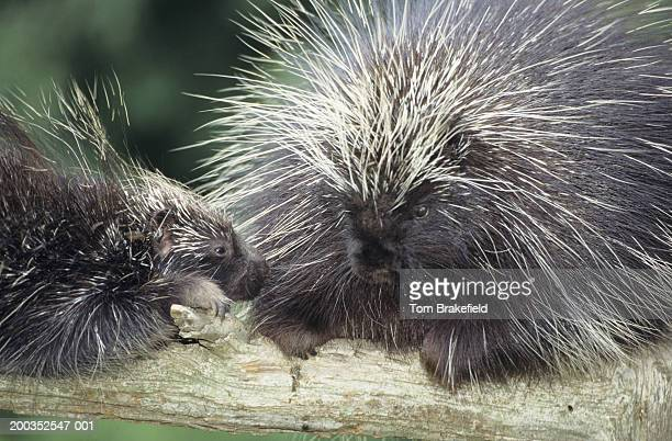 North American porcupine (Erethizon dorsatum) mom with young, close-up, Canada