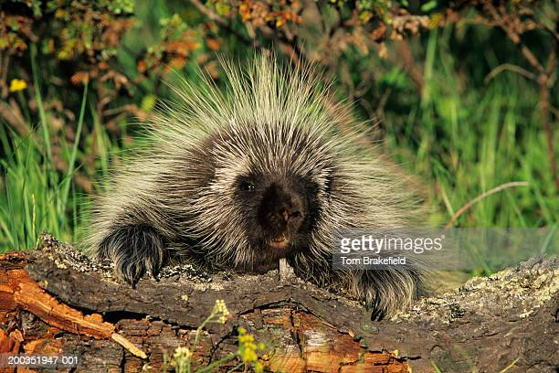 north american porcupine (erethizon dorsatum), montana, usa - porcupine stock photos and pictures
