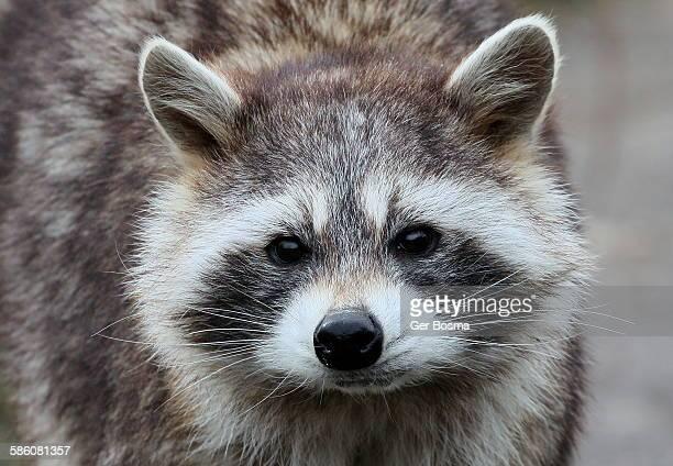 North american raccoon portrait