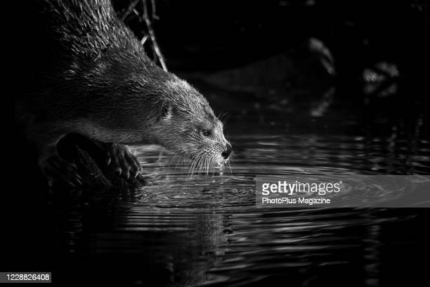 This image has been converted to black and white) A North American river otter by the waters edge at WWT Slimbridge wildlife reserve in south west...