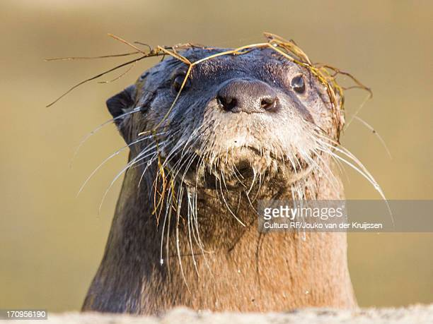 """north american river otter, lontra canadensis, """"""""""""""""sutro sam"""""""""""""""", the only wild river otter in san francisco - river otter stock pictures, royalty-free photos & images"""
