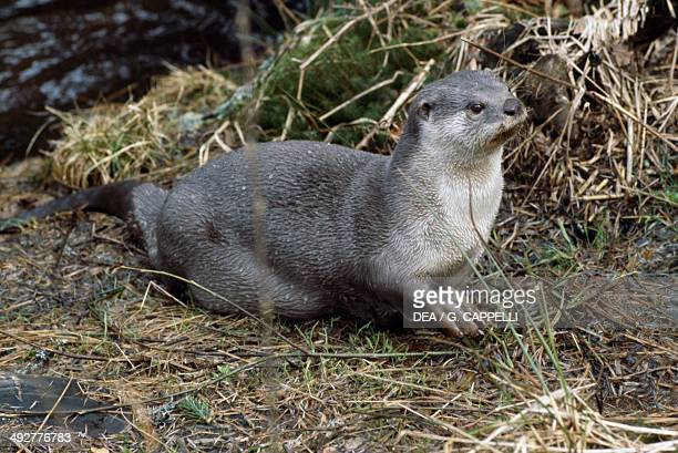 North American river otter Mustelidae