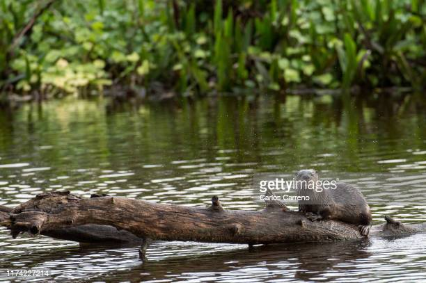 north american river otter on a log - river otter stock pictures, royalty-free photos & images