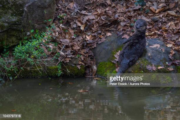north american river otter (lontra canadensis) on riverbank - river otter stock pictures, royalty-free photos & images