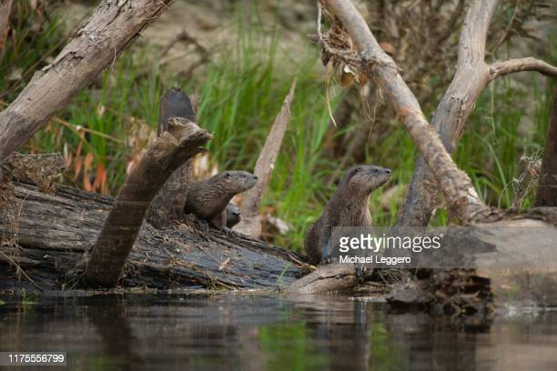 north american river otter - river otter stock pictures, royalty-free photos & images