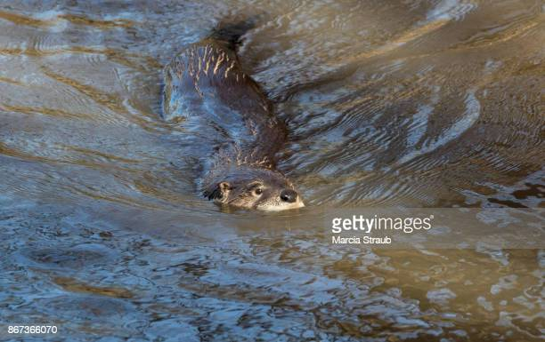 north american river otterin the water - river otter stock pictures, royalty-free photos & images