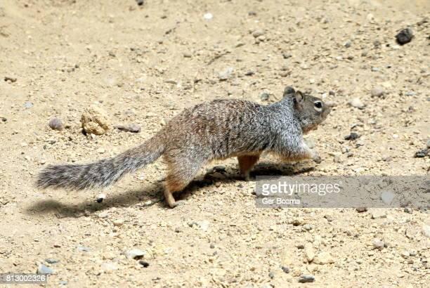 North American Rock Squirrel (Otospermophilus variegatus)