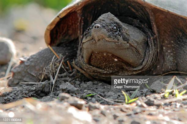 north american snapping turtle - snapping turtle stock pictures, royalty-free photos & images