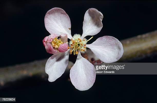 the dainty pale pink blossom flower of a royal gala apple tree. - royal gala apple stock photos and pictures