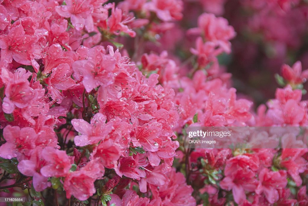 USA, North Carolina, Asheville, Azalea blossom : ストックフォト