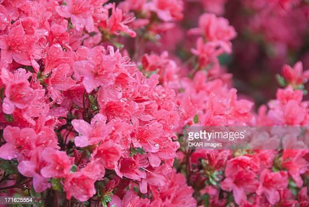 USA, North Carolina, Asheville, Azalea blossom