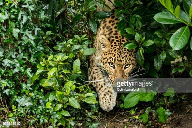 north china leopard series - felino fotografías e imágenes de stock