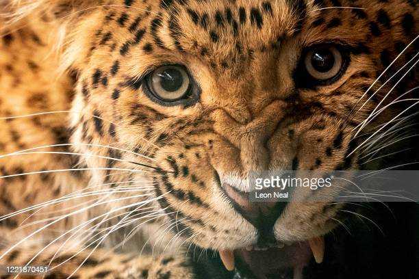 North Chinese leopard is seen within it's enclosure at the Big Cat Sanctuary on April 29, 2020 in Ashford, Kent. Members of staff have been forced to...