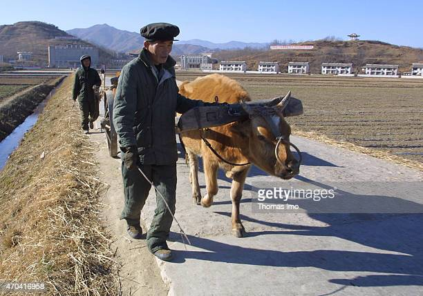 North Korean farmers with ox carts on December 07 2001 in Chonsamri North Korea Photo by Thomas Imo/Photothek via Getty Images