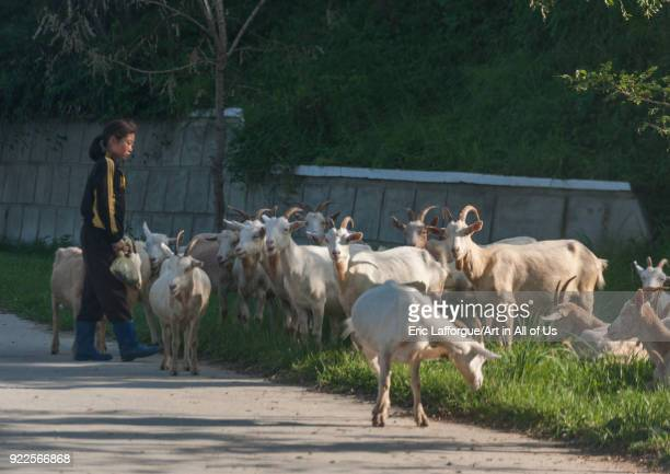 North Korean girl watching a herd of goats grazing South Pyongan Province Chonsam Cooperative Farm North Korea on September 12 2011 in Chonsam...