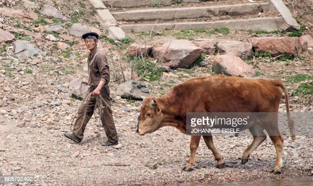 A North Korean man walks with his cow along the banks of the Yalu river near Sinuiju opposite the Chinese border city of Dandong on April 15 2017 /...