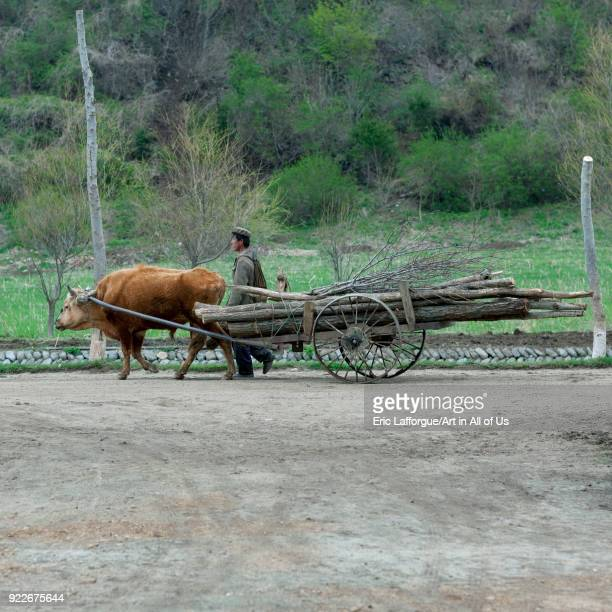 North Korean peasant with an ox pulling a cart filled with wood North Hamgyong Province Jung Pyong Ri North Korea on May 7 2010 in Jung Pyong Ri...