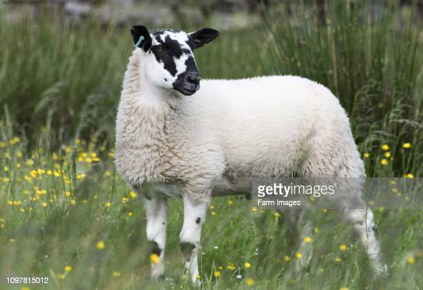 North of England mule wether lamb North Yorkshire UK