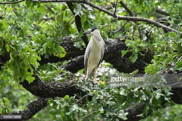 north texas bird - rookery stock pictures, royalty-free photos & images