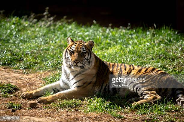 Northeast Tiger lies on the grass In Yunnan Zoo visitors can walk through a glass tunnel to get very close with these big cats