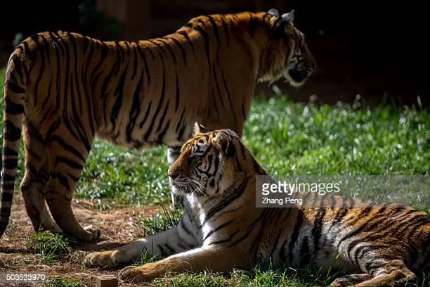 Northeast Tigers rest on the grass In Yunnan Zoo visitors can walk through a glass tunnel to get very close with these big cats